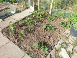 Sweetcorn and courgette bed