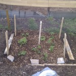Strawberry bed May 2012